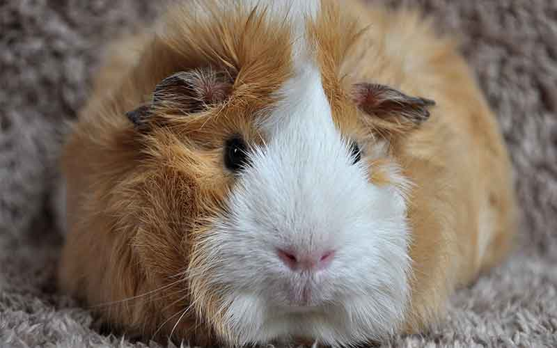 Ginger Guinea Pig Names For Girls. 200 Great Girl Guinea Pig Names