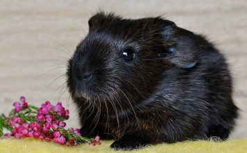200 Great Girl Guinea Pig Names