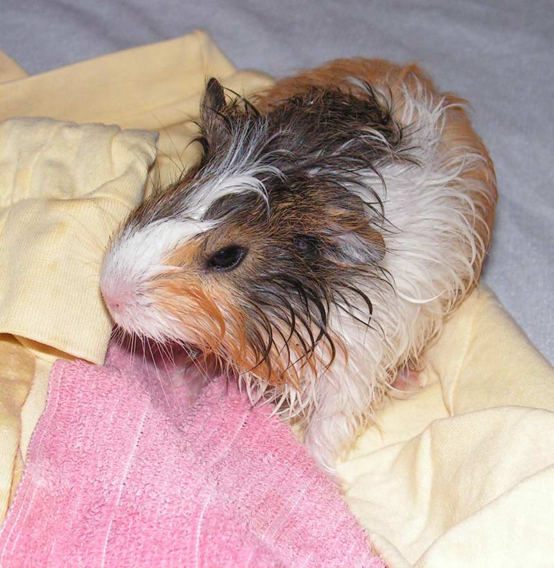 Guinea pig bath time - you'll need to have some dry towels to hand