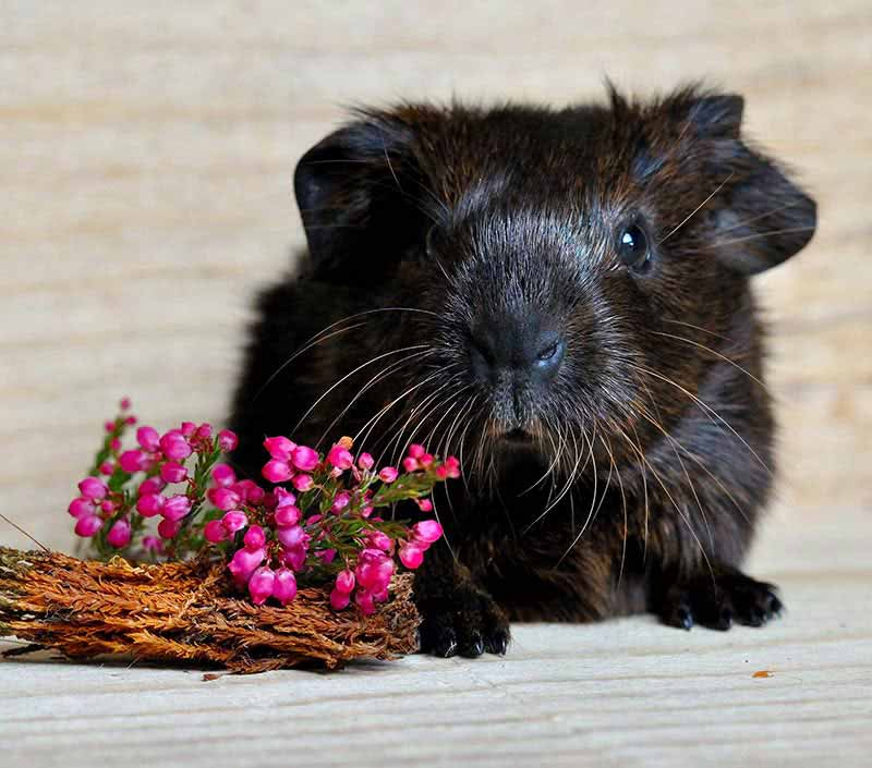 Cute guinea pig names can be flowery too!