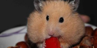How often should I feed my hamster