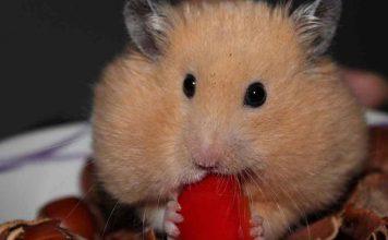 How often should I feed my hamster