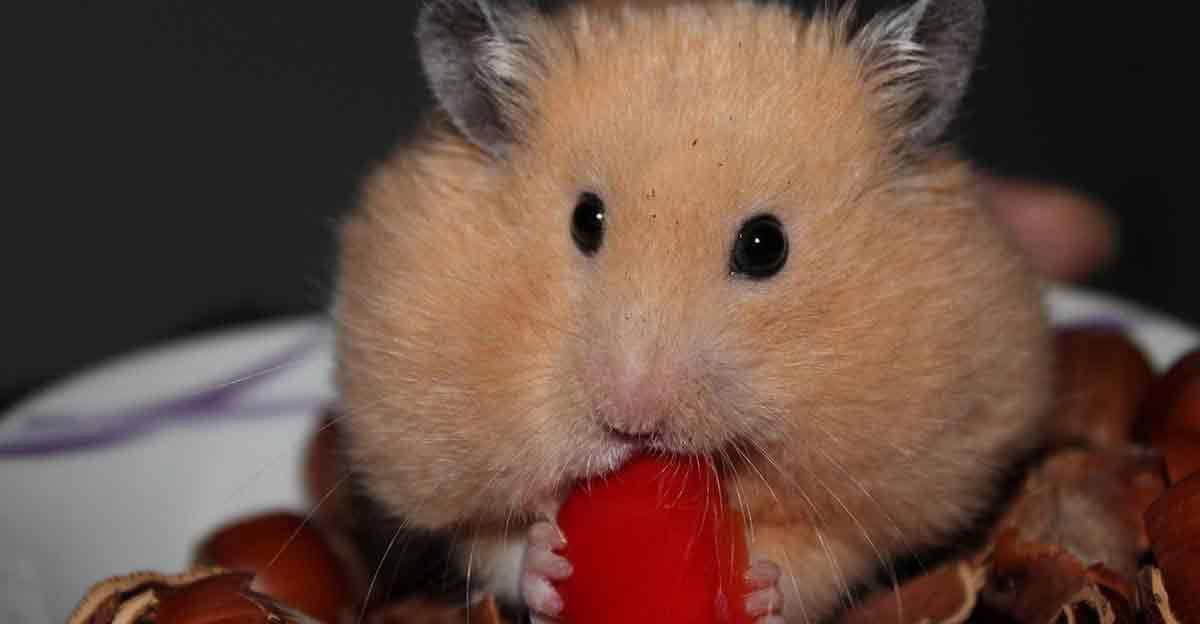 Hamster.comm