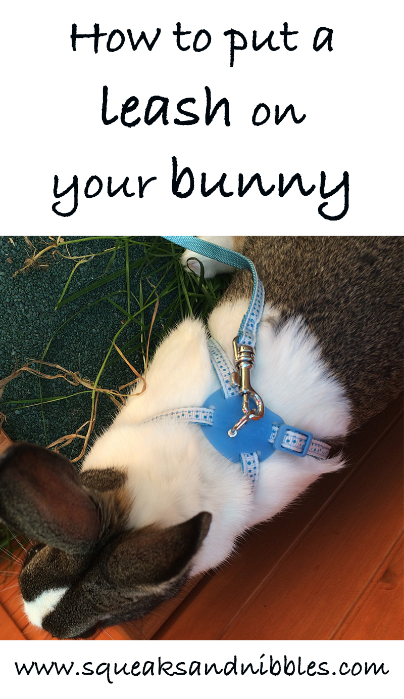 How to put a leash on your bunny - bunny walking!