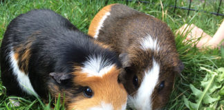 how long do guinea pigs live - guinea pig lifespan