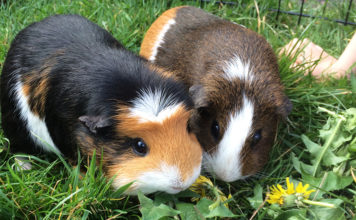 how long do guinea pigs live - guinea pig lifespan