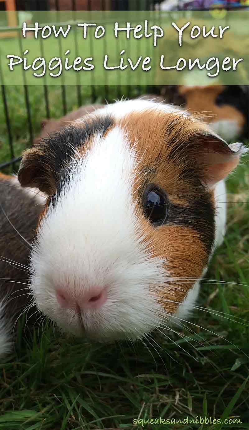 How Long Do Guinea Pigs Live? A Guide To Guinea Pig Lifespan