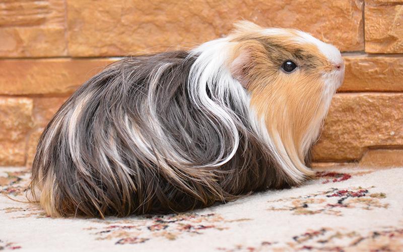 Long Haired Guinea Pig Girl Names. 200 Great Girl Guinea Pig Names