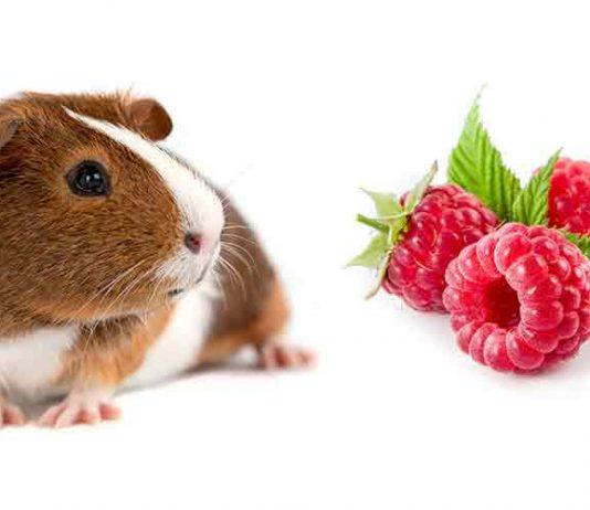Can Guinea Pigs Eat Raspberries?