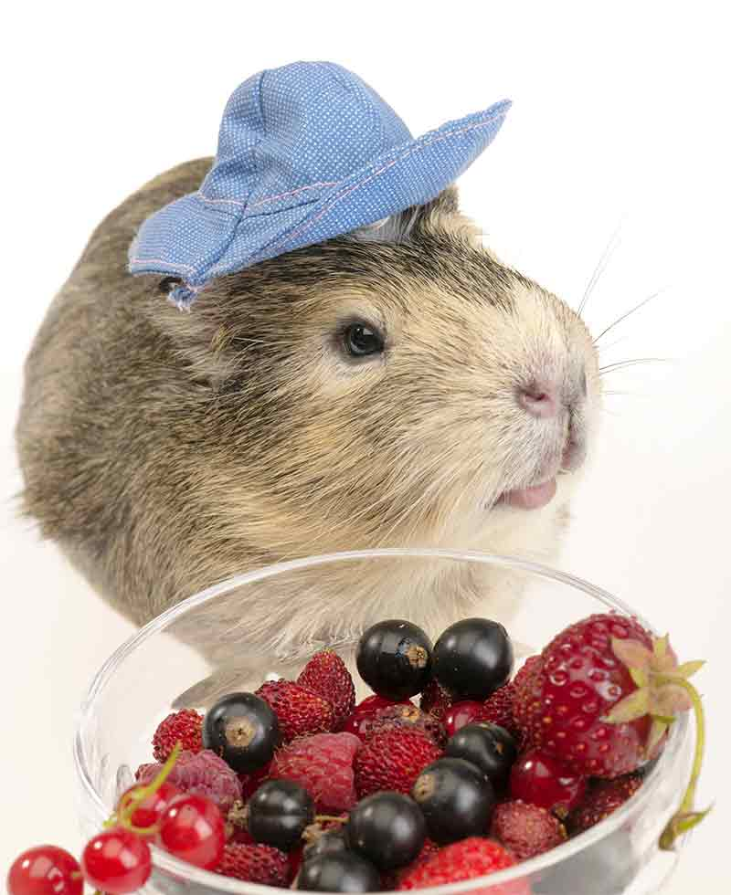 Can Guinea Pigs Eat Raspberries?