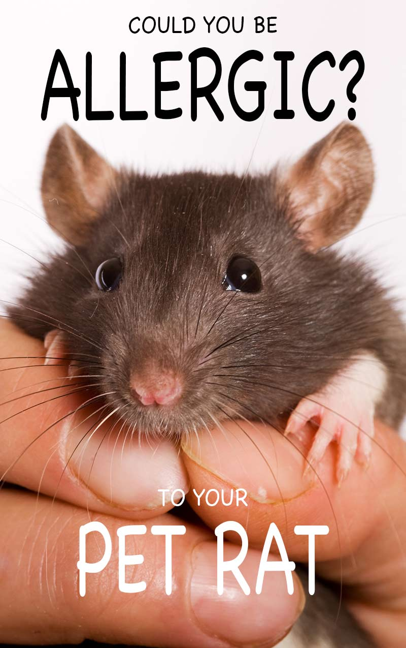 A guide to rat allergies - how to decide if you are allergic to your rat, and what to do about it