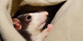 Rat Allergies - Diagnosis and Treatment