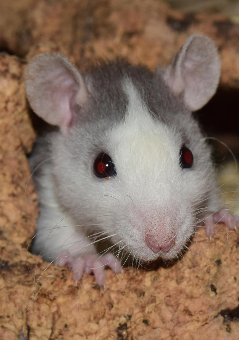 Rat allergies can be a problem for some pet rat owners