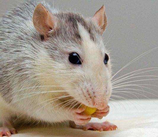 fancy rat diet