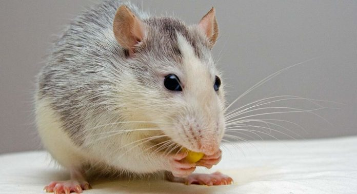 fancy rat diet
