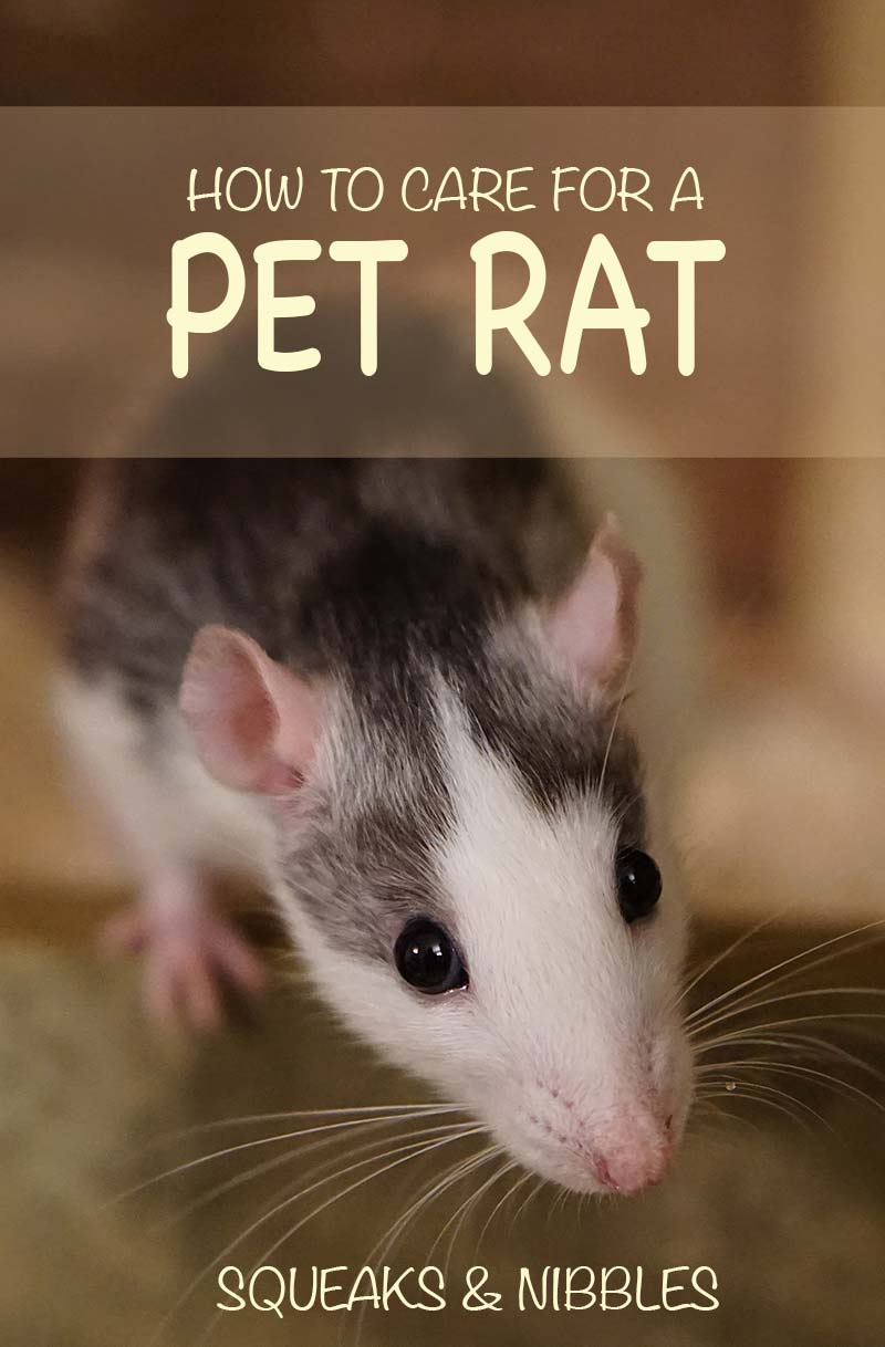Don't miss our pet guide - how to take care of a pet rat
