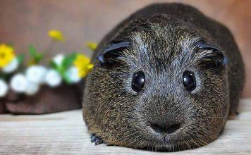When Do Guinea Pigs Sleep?