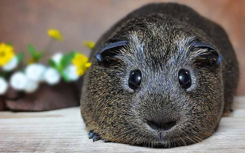 When Do Guinea Pigs Sleep? - Squeaks and Nibbles