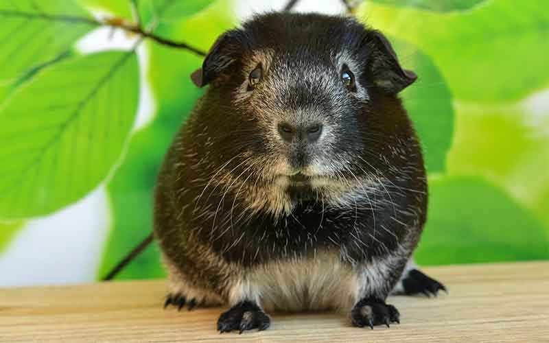 Unique Names For Girl Guinea Pigs. 200 Great Girl Guinea Pig Names