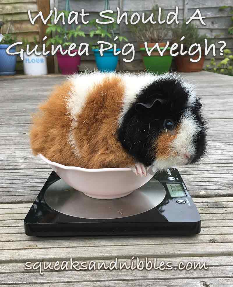 How to weigh my guinea pig?
