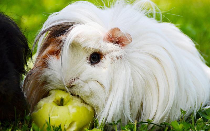 White Guinea Pig Names For Girls. 200 Great Girl Guinea Pig Names
