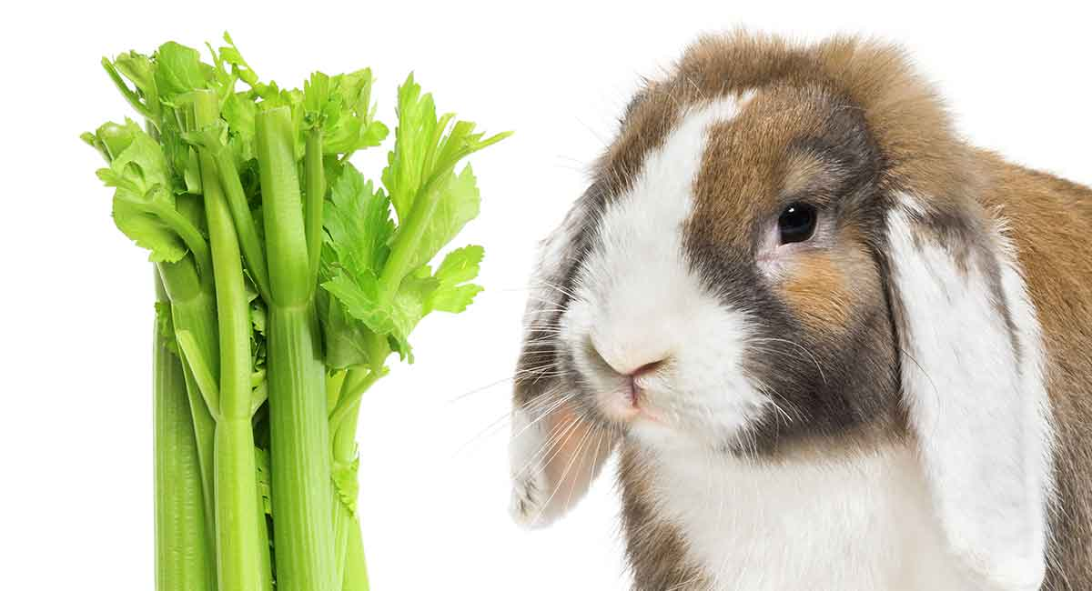 Can Rabbits Eat Celery A Guide To