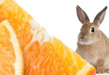 can rabbits eat orange