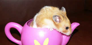 can hamsters drink milk