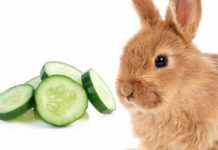 can rabbits eat cucumber