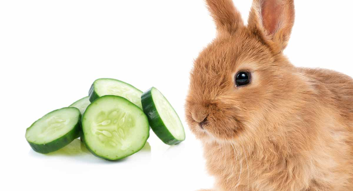 Can Rabbits Eat Cucumber Can Your Bunnies Have This Snack