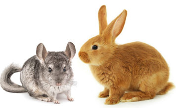 Can chinchillas live with rabbits?