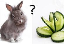 Can rabbits eat cucumber?