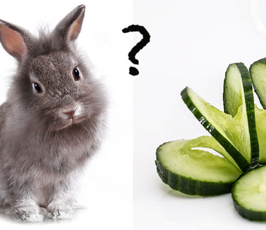 Can rabbits eat cucumber?