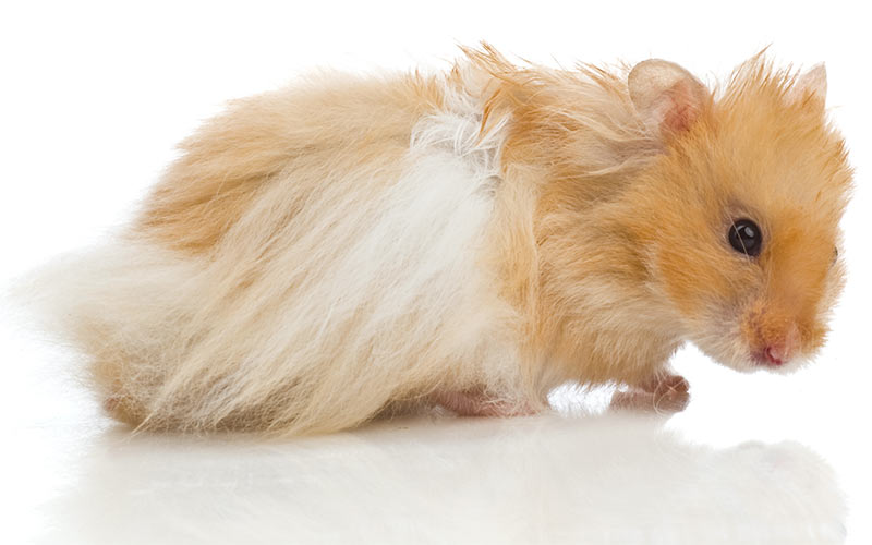 Teddy bear hamster wiki