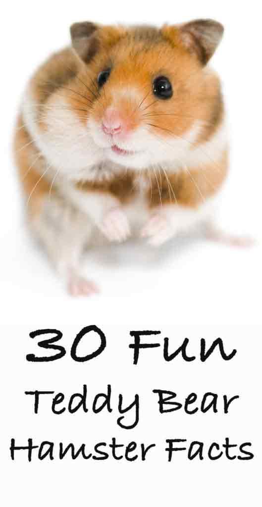 30 Fun Teddy Bear Hamster Facts