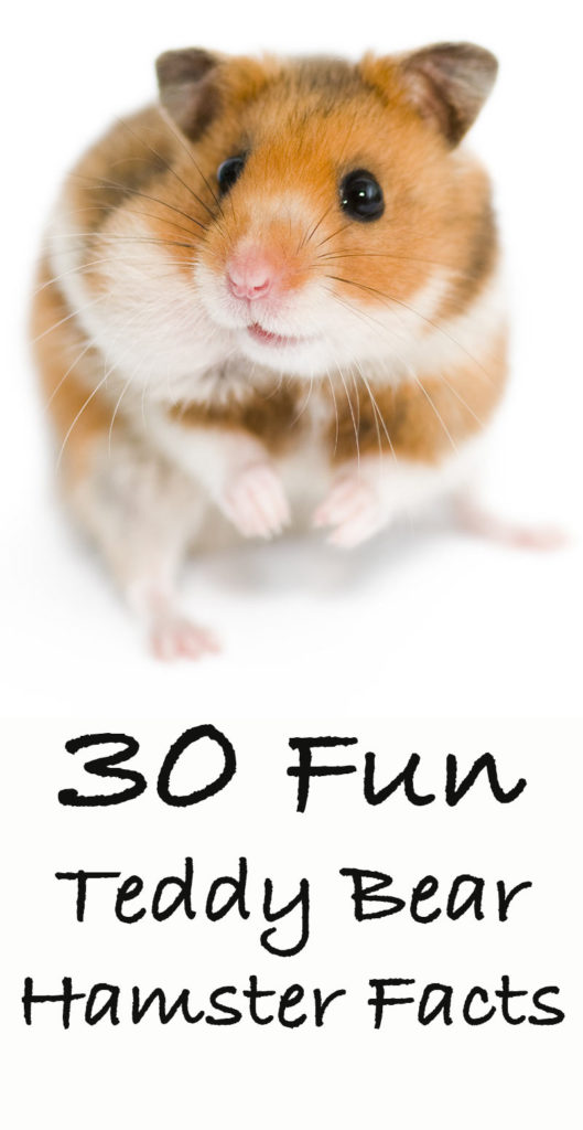 30 Fun Teddy Bear Hamster Facts