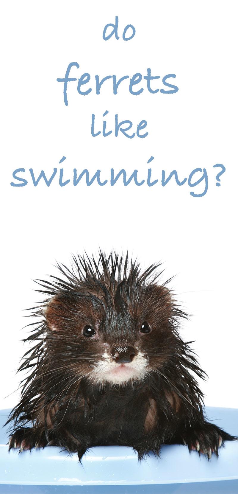 Can Ferrets Swim and Do Ferrets Like Swimming?