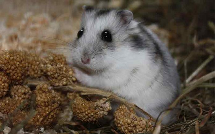 Can hamsters eat guinea pig food?