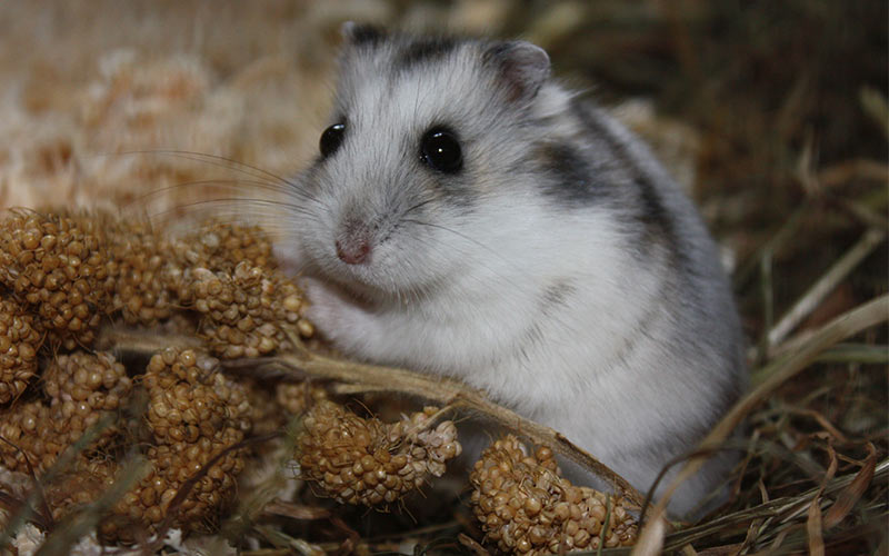 Can Rats Eat Hamster Food