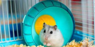 how long do hamsters live