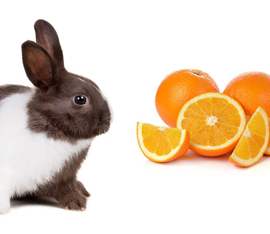 Can Rabbits Eat Oranges?