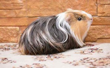 Guinea Pig Cage Size Guide & Where To Find The Best Indoor Guinea Pig Cages
