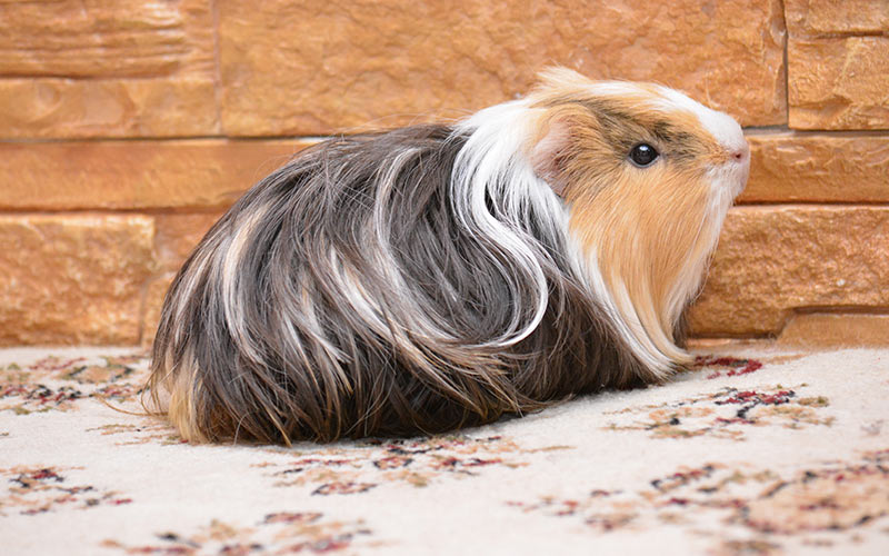 Guinea Pig Cage Size Guide The Best Homes For Guinea Pigs