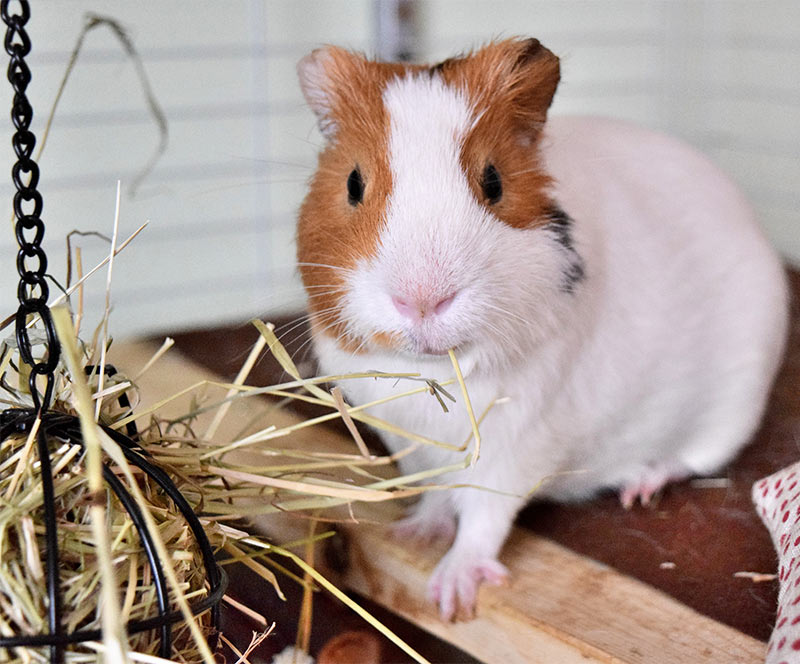 How to Choose Good Cages for Hamsters pictures