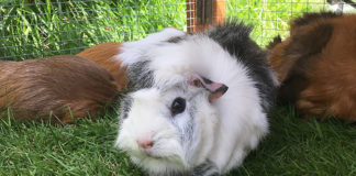 Guinea Pig Sounds And Their Meanings