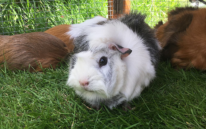 Guinea Pig Sounds And Their Meanings - A Guide To Guinea ...