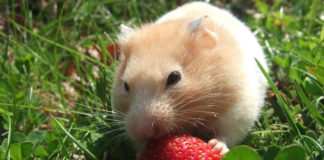 Can Hamsters Eat Strawberries?
