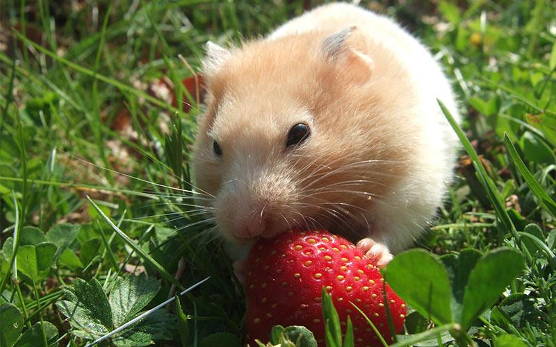 Can Mice Eat Dwarf Hamster Food