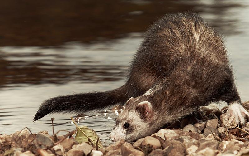 Can ferrets swim?