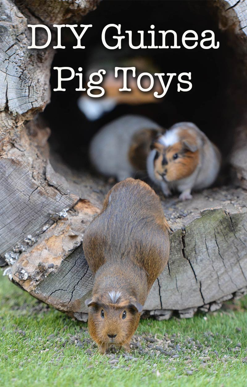 Guinea Pig Toys : Diy guinea pig toys the best you can make